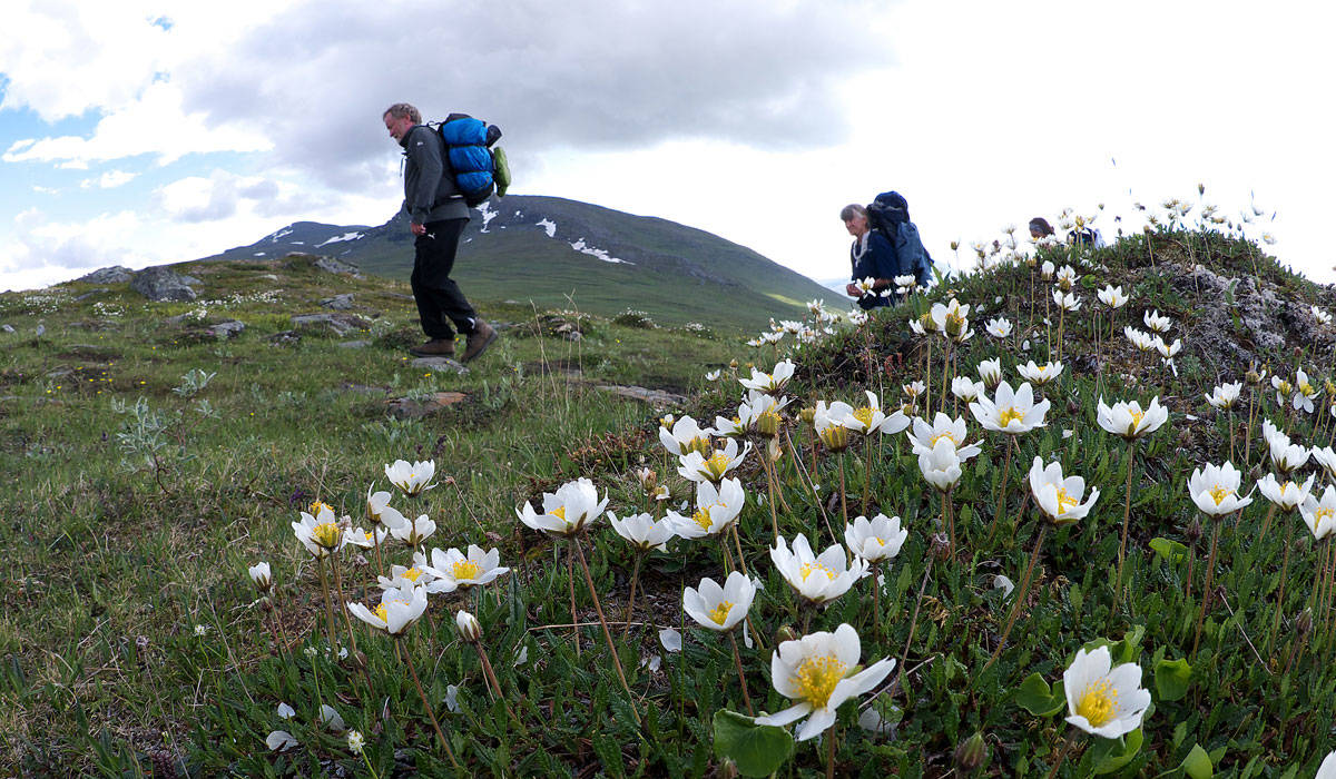 A Guide To The Mountain Flora In Swedish Lapland